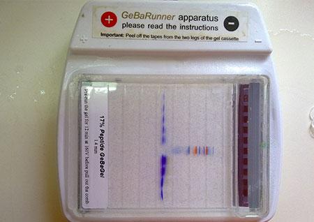 Peptide GeBAGel
